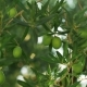 Branch with Green Olives - VideoHive Item for Sale