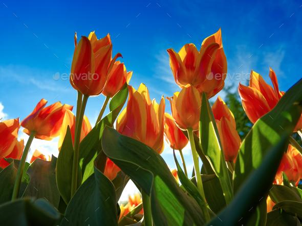 Orange tulips on flowerbed - Stock Photo - Images
