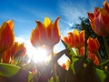 Orange tulips on flowerbed - PhotoDune Item for Sale