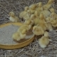 Little Ducklings at Poultry Farm - VideoHive Item for Sale