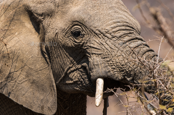 Young African Elephant Portrait - Stock Photo - Images