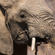 Young African Elephant Portrait - PhotoDune Item for Sale
