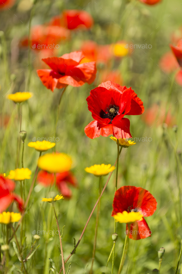 Red poppy flowers in Summer. - Stock Photo - Images