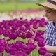 Female Farmer Examining Pink Tulip Flowers At Field - VideoHive Item for Sale