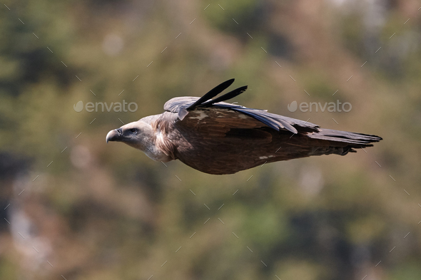 Griffon vulture, Eurasian griffon (Gyps fulvus)  - Stock Photo - Images