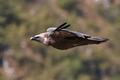 Griffon vulture, Eurasian griffon (Gyps fulvus)  - PhotoDune Item for Sale