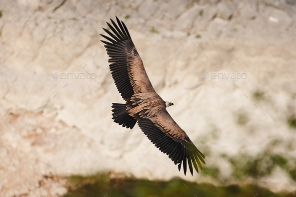 Griffon vulture, Eurasian griffon (Gyps fulvus)  - Stock Photo - Images