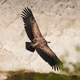Griffon vulture, Eurasian griffon (Gyps fulvus)  - PhotoDune Item for Sale