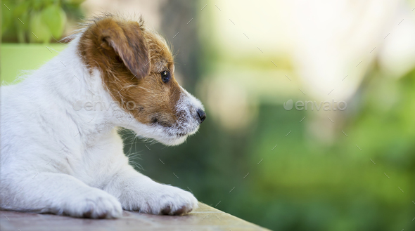 Cute dog puppy looking and thinking - Stock Photo - Images