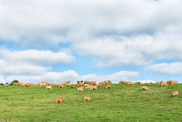 Farm landscape with cows on the P317-road - Stock Photo - Images