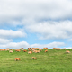 Farm landscape with cows on the P317-road - PhotoDune Item for Sale
