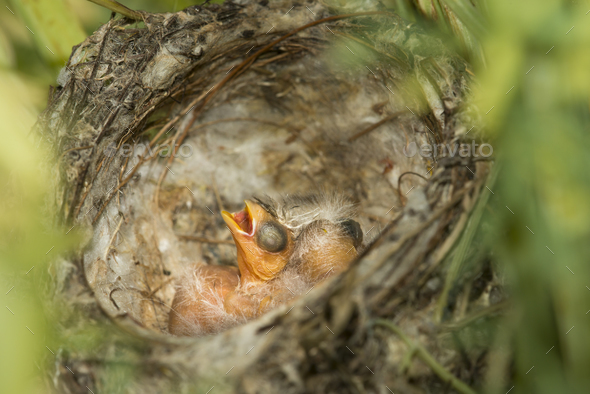 Nest and nestlings of European goldfinch (Carduelis carduelis) - Stock Photo - Images