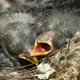 Nest and nestlings of European goldfinch (Carduelis carduelis) - PhotoDune Item for Sale