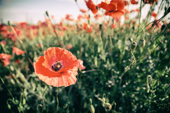 Poppy flowers retro vintage summer background - Stock Photo - Images