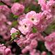 Sakura Blossom - VideoHive Item for Sale
