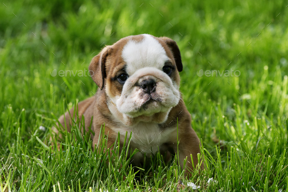 Portrait of the english bulldog outdoo - Stock Photo - Images