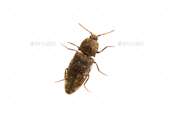 Click beetle Agrypnus murinus on a white background - Stock Photo - Images