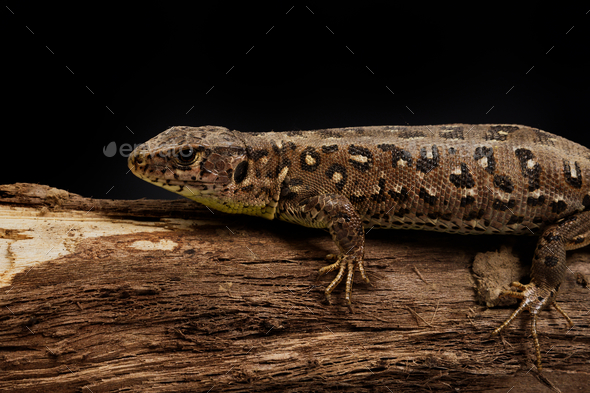 Sand lizard (Lacerta agilis) on a wood - Stock Photo - Images