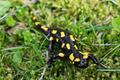 Fire salamander (Salamandra salamandra) in a nature - PhotoDune Item for Sale