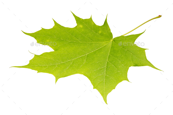 Green maple leaf on a white background - Stock Photo - Images