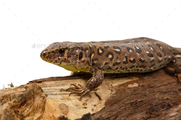 Lizard (Lacerta agilis) on a white background - Stock Photo - Images