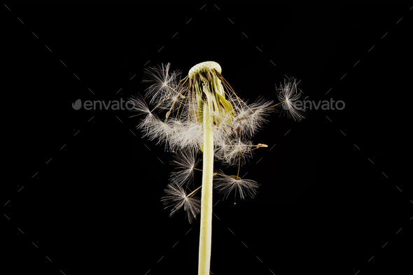 Close-up of dandelion on the black background - Stock Photo - Images