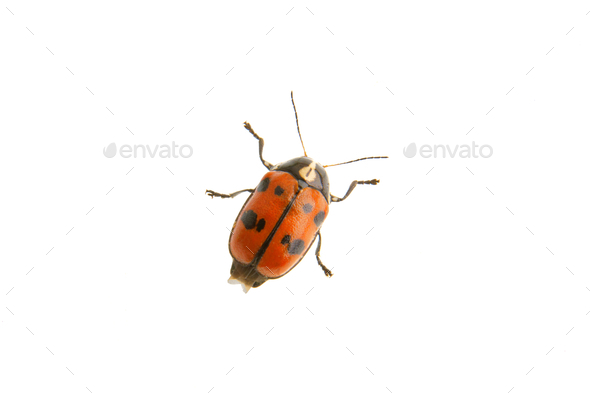 Beetle Cryptocephalus octopunctatus on a white background - Stock Photo - Images
