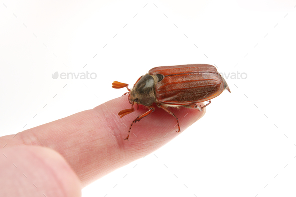 Cockchafer (Melolontha melolontha) on a white background - Stock Photo - Images