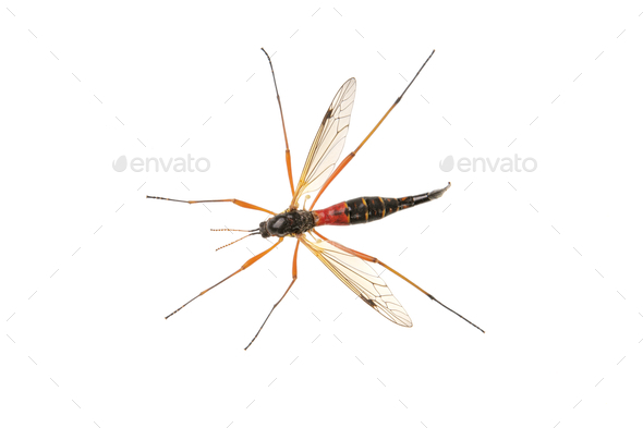 Crane fliees (Tanyptera atrata) on a white background - Stock Photo - Images