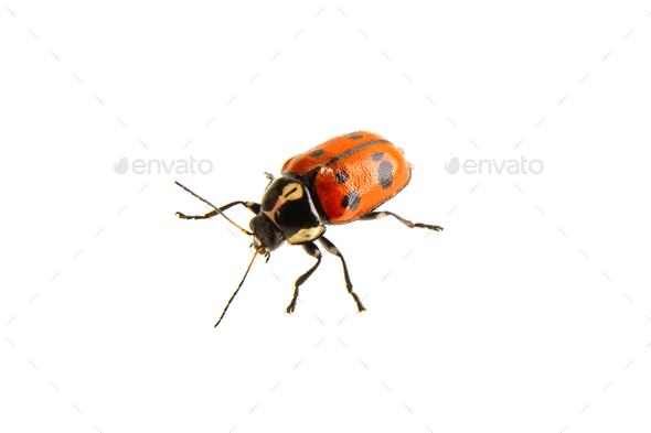 Beetle Cryptocephalus octopunctatus on a white background - Stock Photo - Images