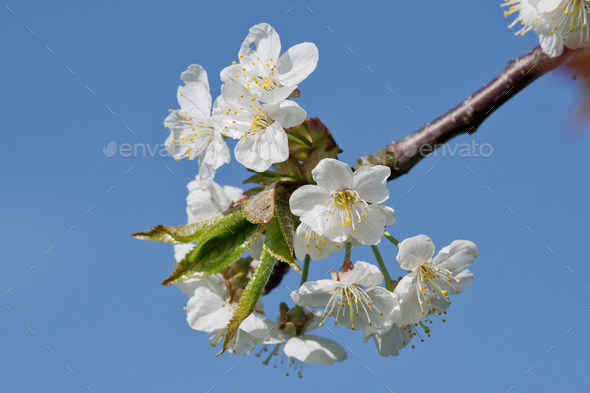 Beautiful flowering fruit trees. Blooming plant branches in spring warm bright sunny day - Stock Photo - Images