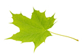Green maple leaf on a white background - PhotoDune Item for Sale