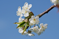 Beautiful flowering fruit trees. Blooming plant branches in spring warm bright sunny day - PhotoDune Item for Sale