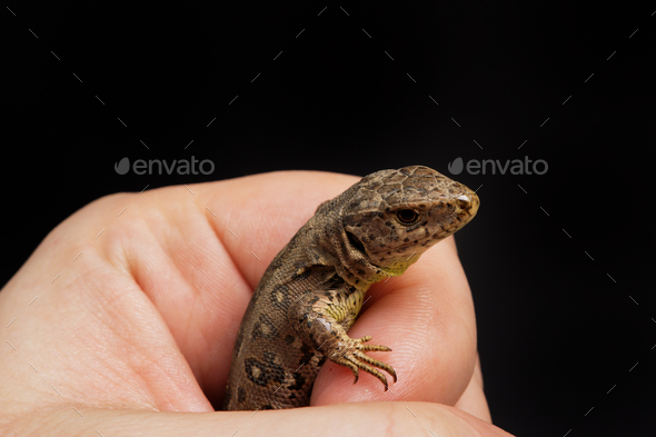 Lizard (Lacerta agilis) isolated on a background - Stock Photo - Images