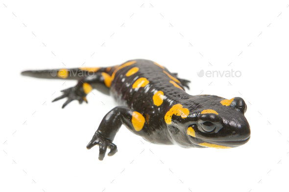 Fire salamander (Salamandra salamandra) on a white background - Stock Photo - Images