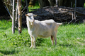Close-up portrait of white adult goat grassing on green summer meadow field