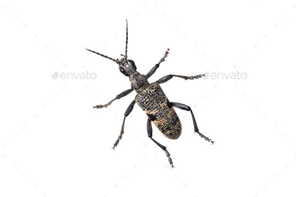 Beetle Rhagium mordax on a white background - Stock Photo - Images