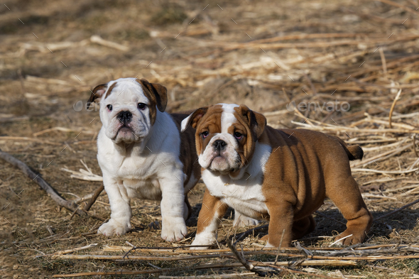 Portrait of the english bulldog outdoor - Stock Photo - Images