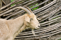 Portrait of a white goat in a village - PhotoDune Item for Sale