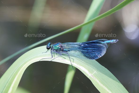 Banded demoiselle (Calopteryx splendens) - Stock Photo - Images