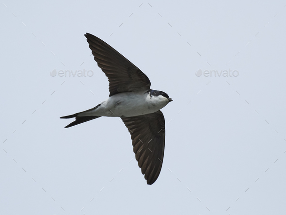 Common house martin (Delichon urbicum) - Stock Photo - Images