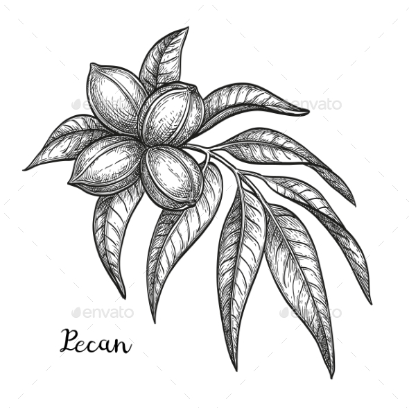 Ink Sketch of Pecan - Food Objects