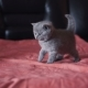 Portrait of Little Playful Cutiest Scottish Straight Kitty. . - VideoHive Item for Sale