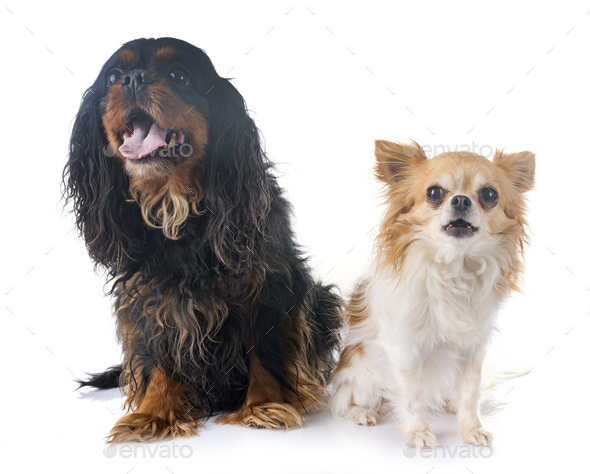 cavalier king charles and chihuahua - Stock Photo - Images