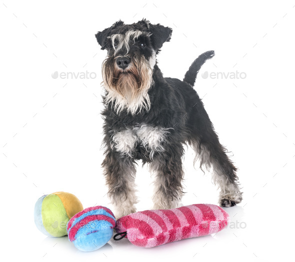 miniature schnauzer in studio - Stock Photo - Images