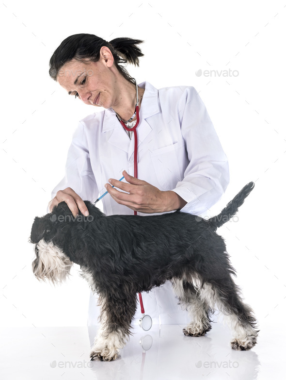 miniature schnauzer and veterianarian - Stock Photo - Images