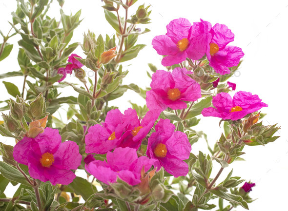 cistus pulverulentus in studio - Stock Photo - Images