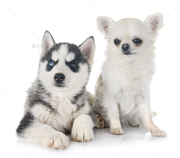 puppy siberian husky and chihuahua - Stock Photo - Images