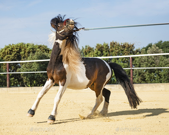 retive pony in lunge - Stock Photo - Images