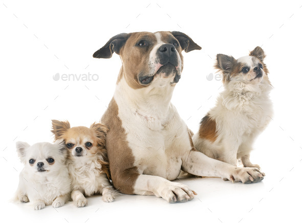 american staffordshire terrier and chihuahuas - Stock Photo - Images